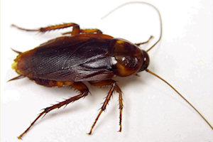 american cockroach infestation control and removal