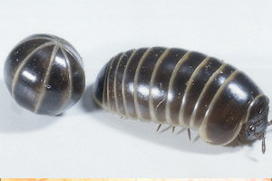 sow and pill bugs
